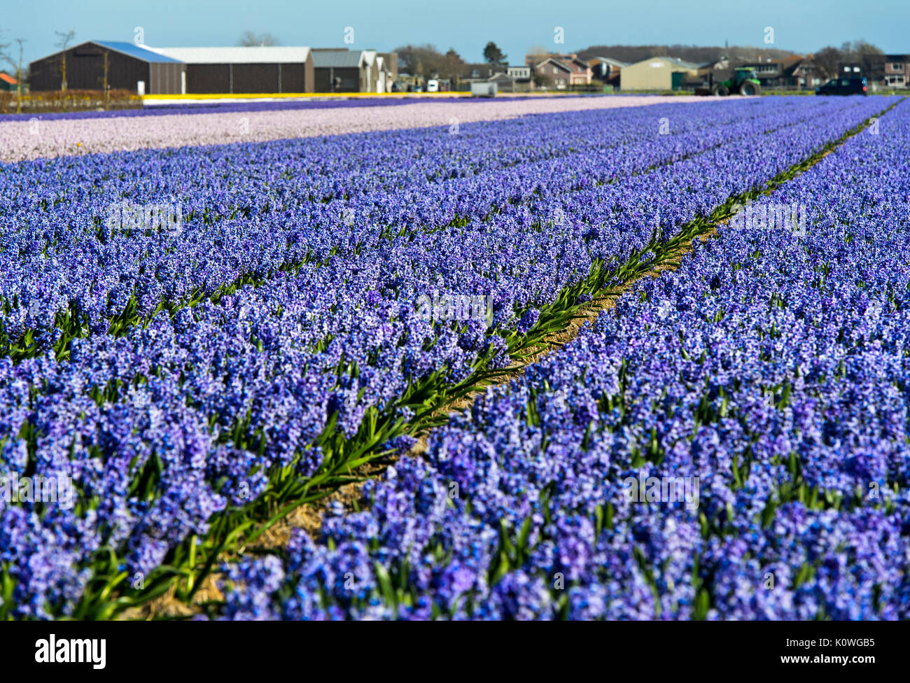 Cultivation area of blooming blue hyacinths, Bollenstreek region, South-Holland, Netherlands Stock Photo