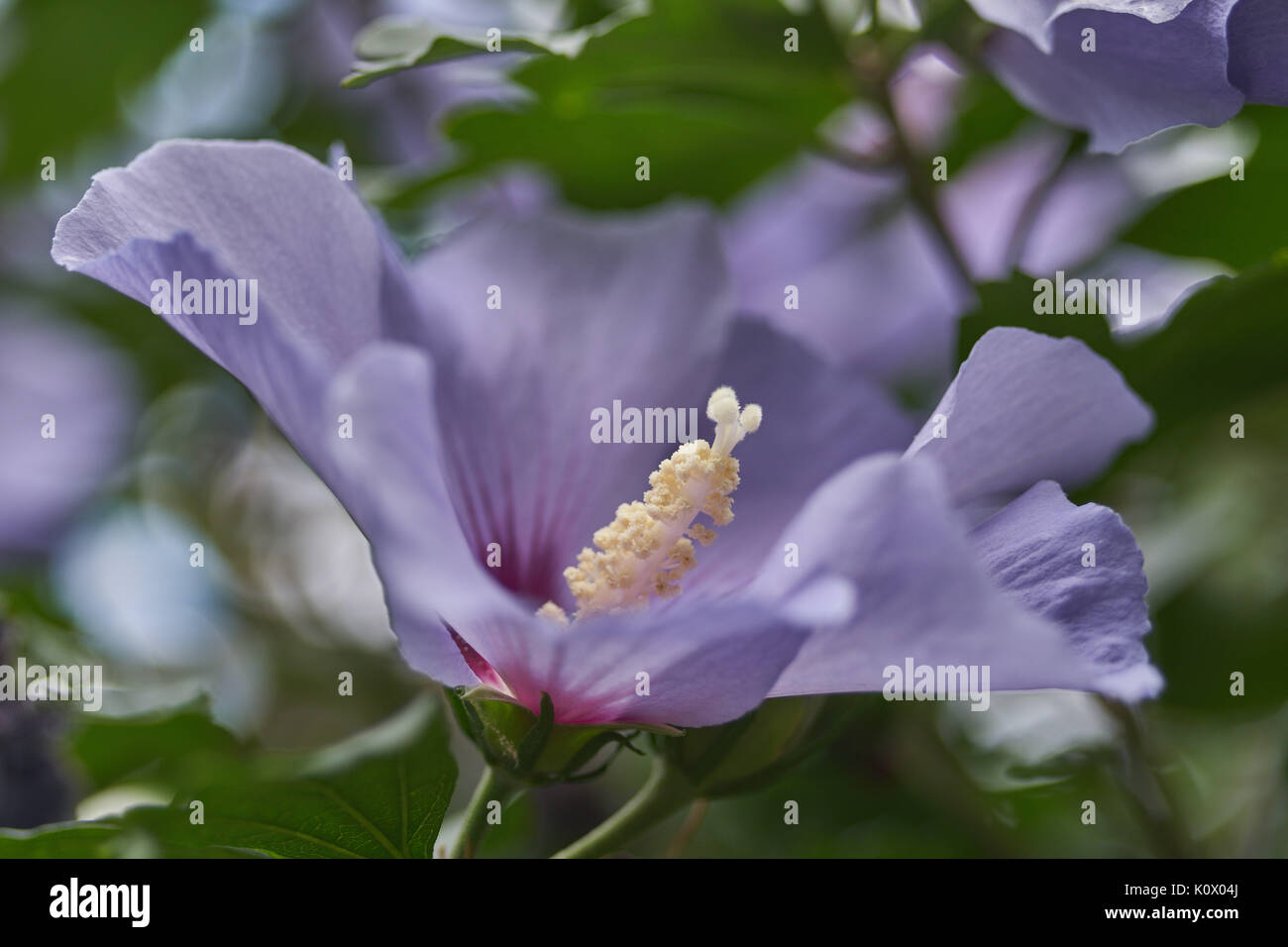 Purple Hibiscus Flower In Full Bloom Close Up Stock Photo 155464194