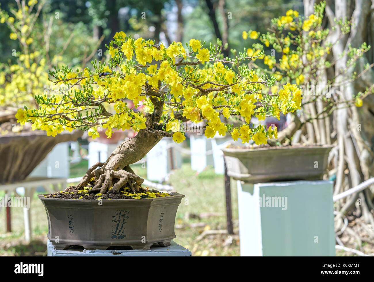 Apricot Bonsai Tree Blooming In Spring With Yellow Flowering