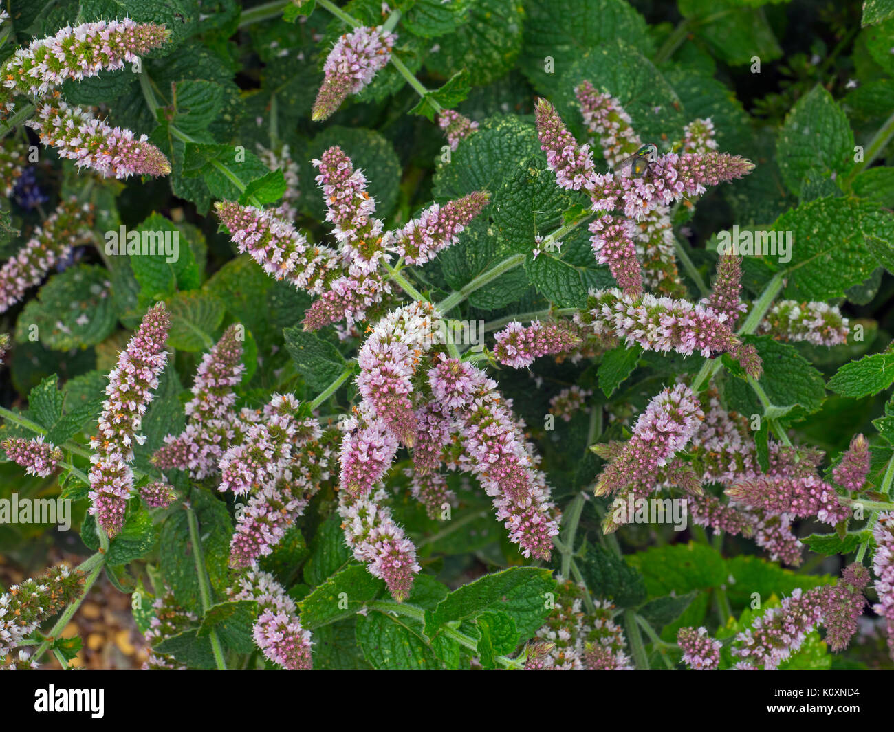 Mint Bowles Mentha rotundifolia Flowers and leaves - Stock Image