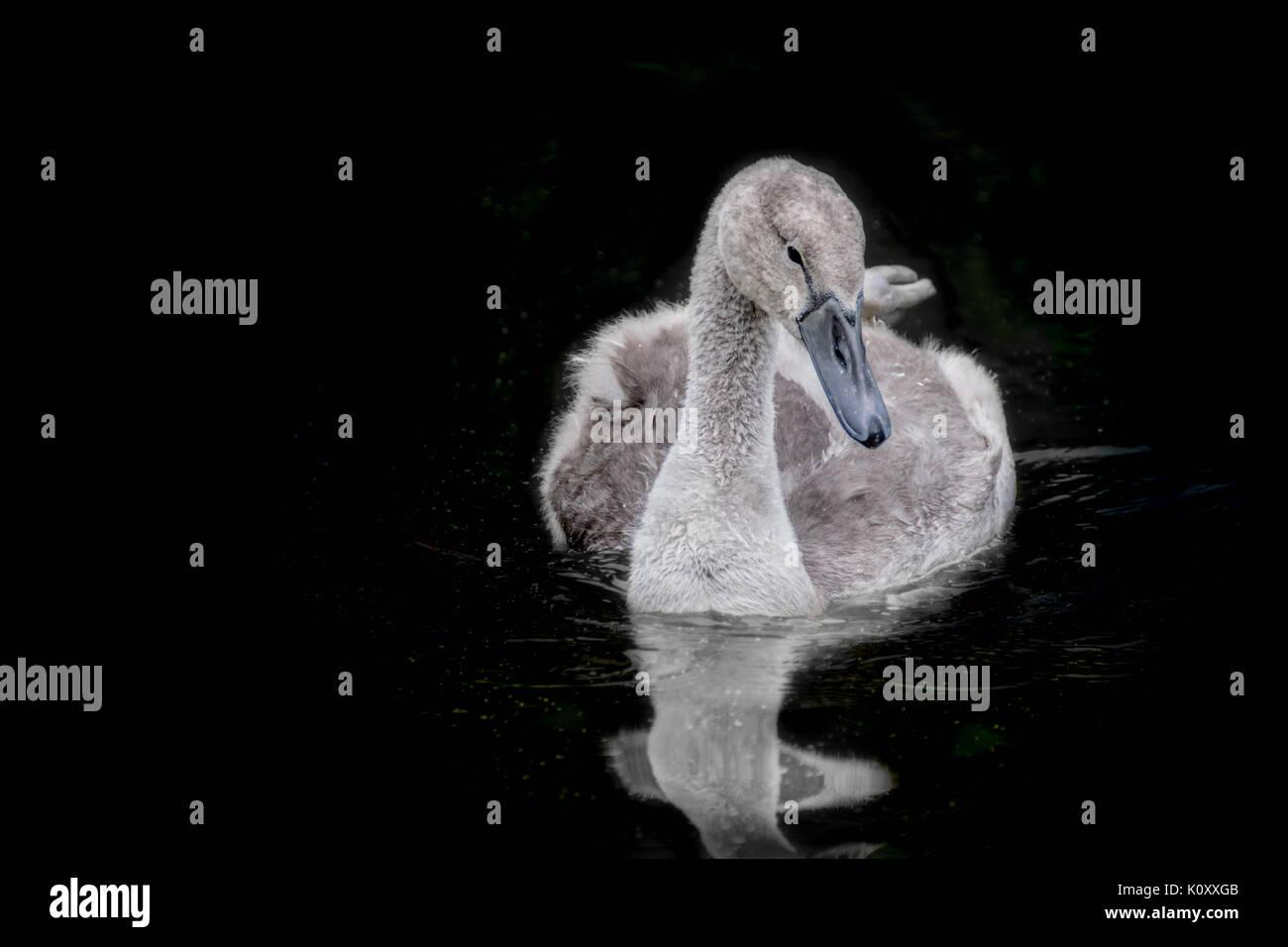 Cygnet swimming, baby swan Stock Photo