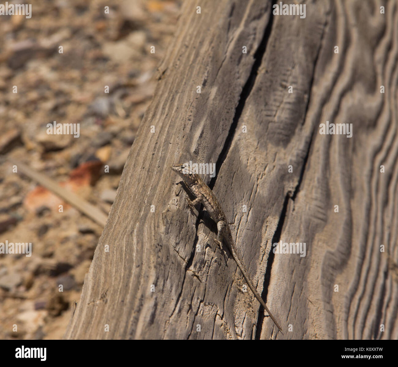 A Common Side Blotched Lizard (Uta stansburiana nevadensis) on a wooden board in the Nevada Desert - Stock Image
