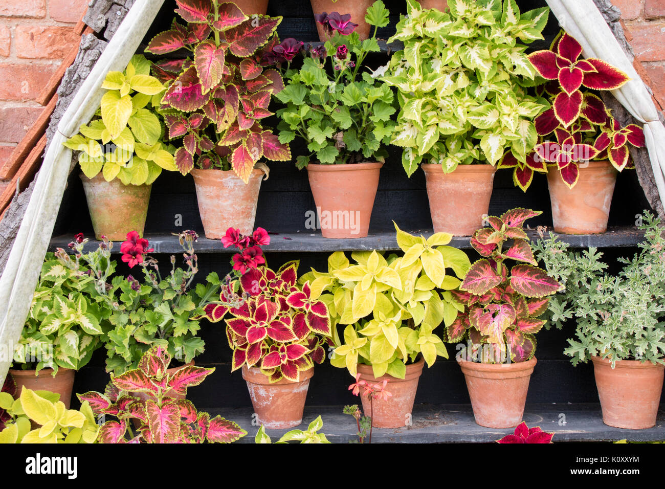 Coleus Plants On Decorative Outdoor Shelving Stock Photo