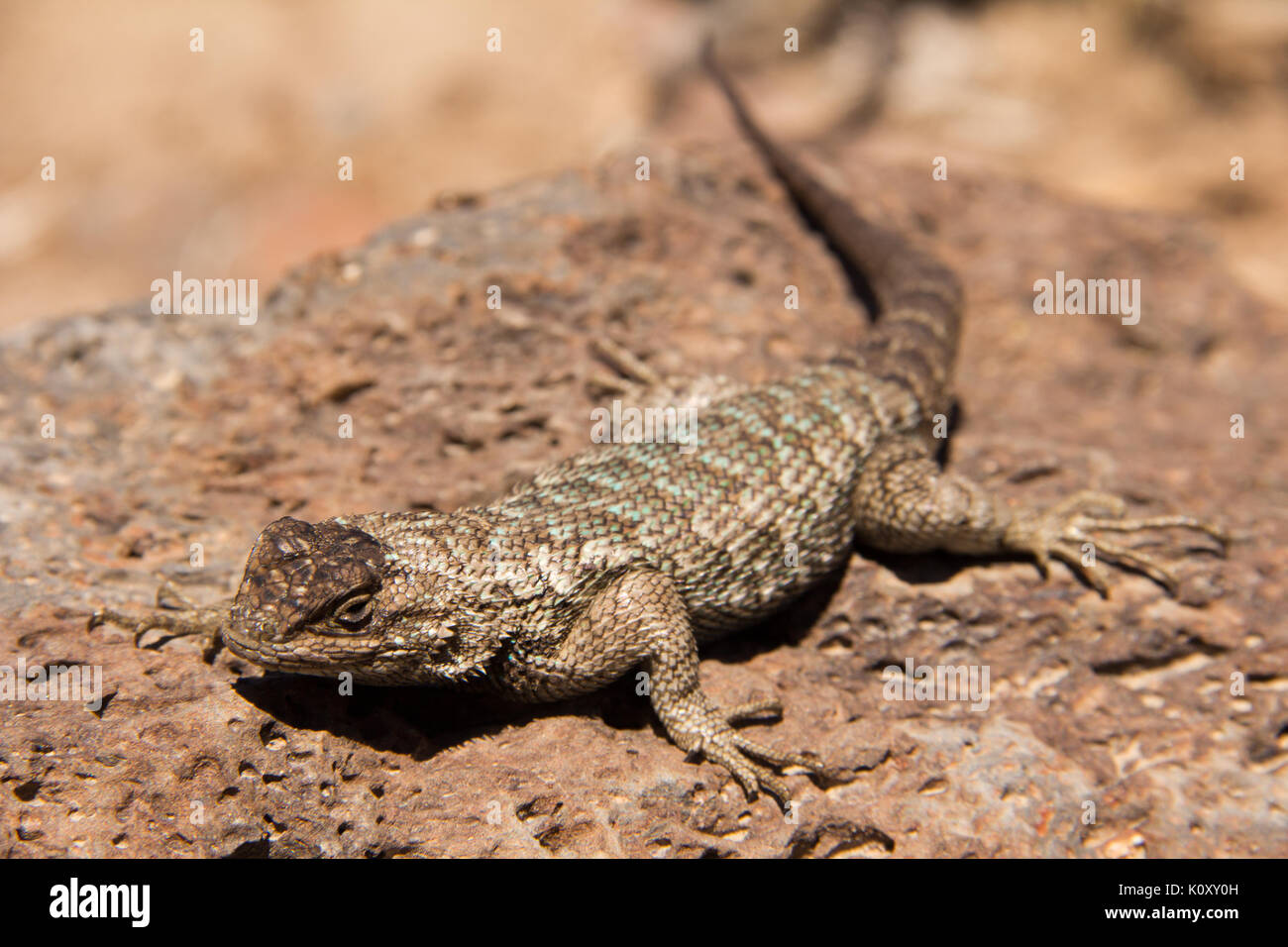 A Western Fence Lizard (Sceloporus occidentalis) on a rock in the Nevada Desert - Stock Image