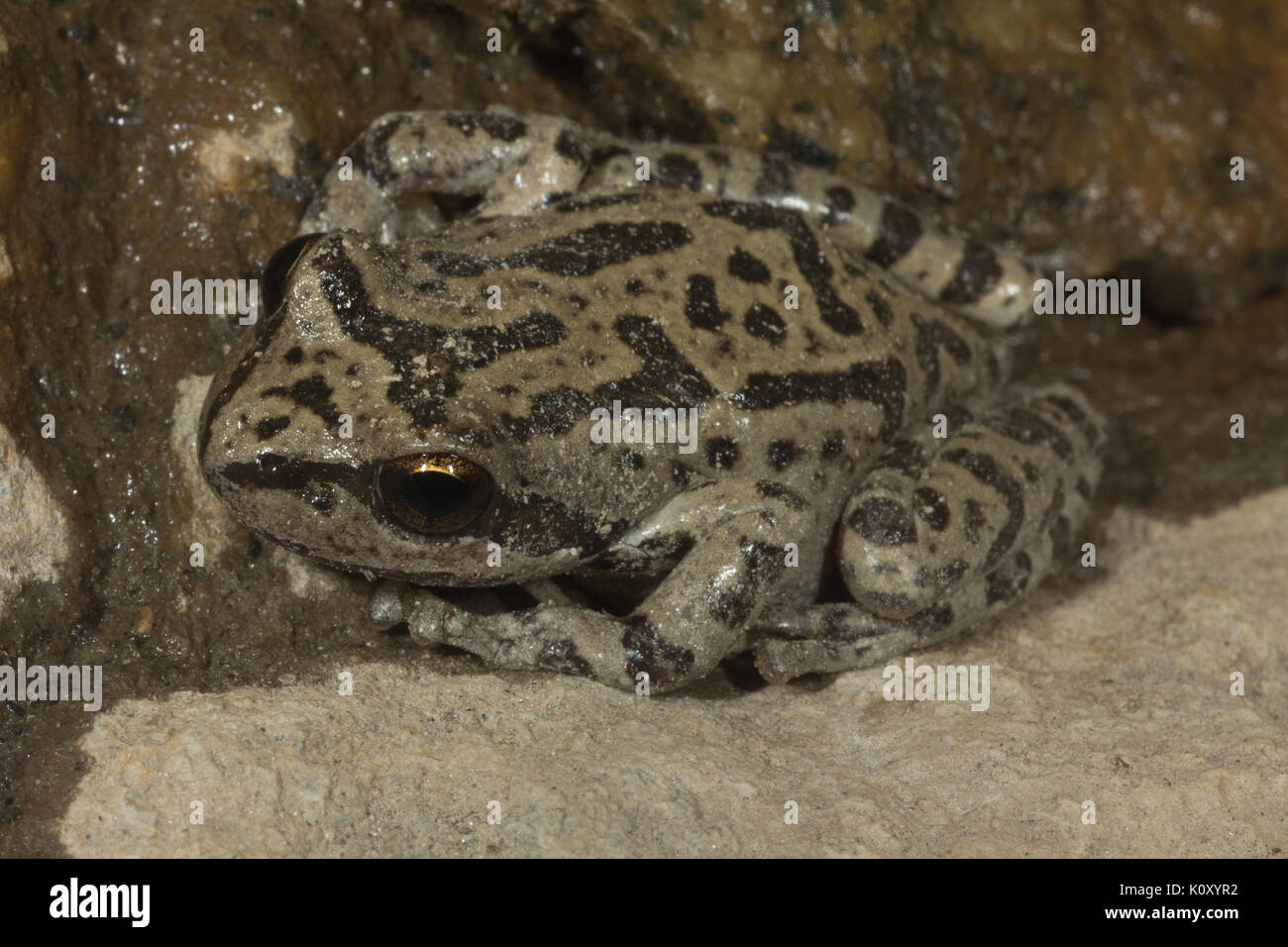 A Pacific Tree Frog (Pseudacris regilla, formerly Hyla regilla) on a cave wall in the Hetch Hetchy Valley, CA - Stock Image