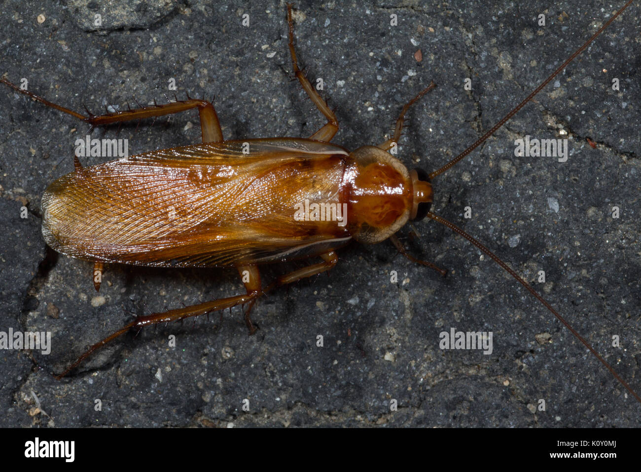 small brown Cockroach among fallen leaves - Stock Image