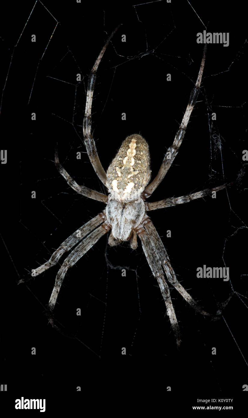 A large Orb Web spider on a web - Stock Image