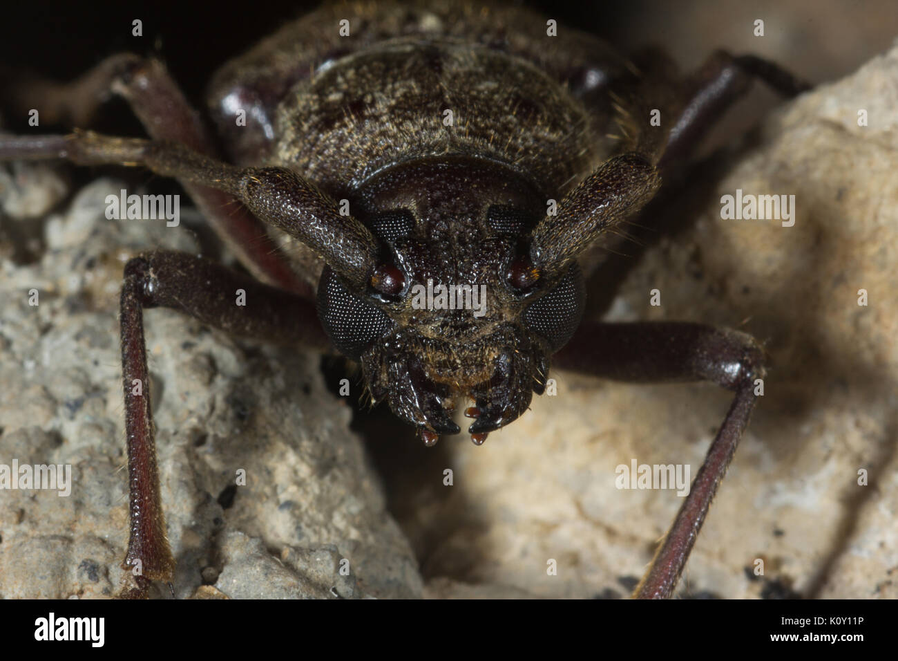 Anterior view of a female Palo Verde beetle on rocks - Stock Image