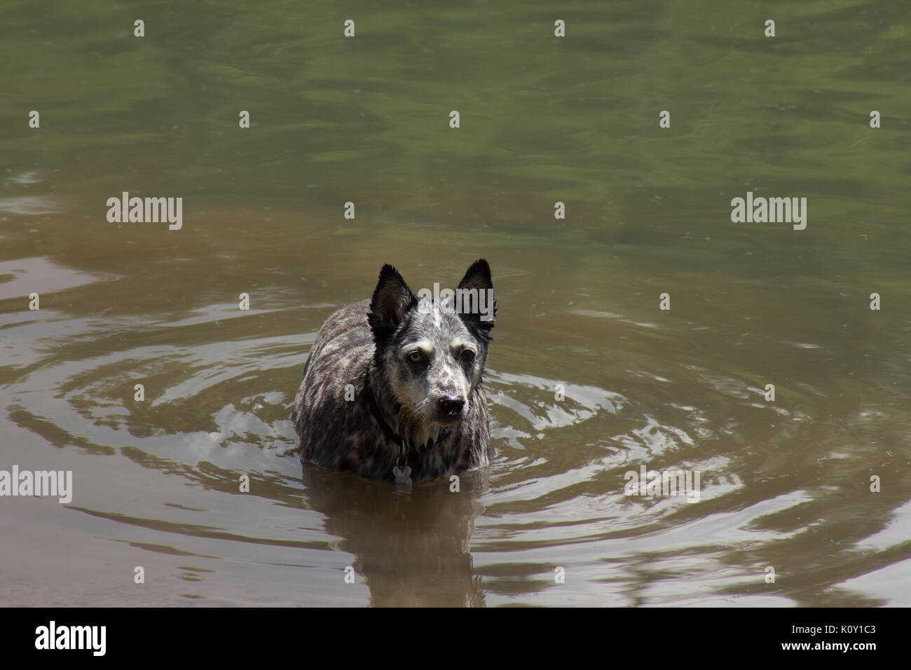 Grey dog (Canis lupus familiaris) cooling down in a lake during the California drought - Stock Image