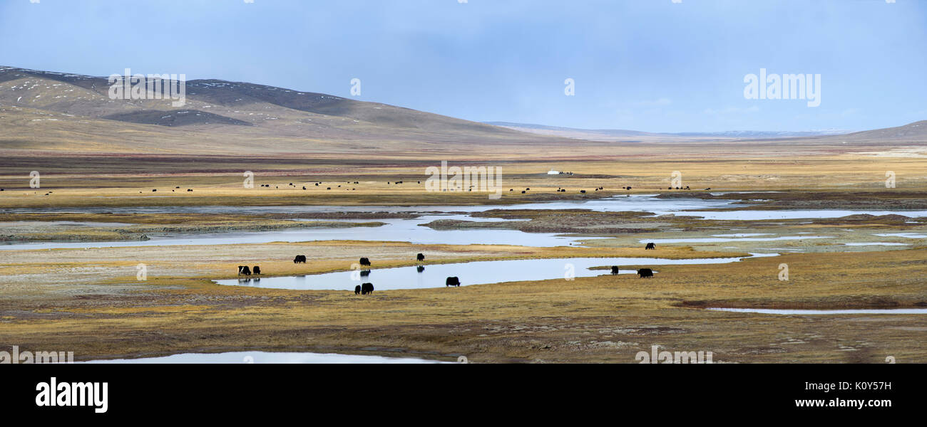 Yaks grazing on the high gasslands of the Tibetan plateau - Stock Image
