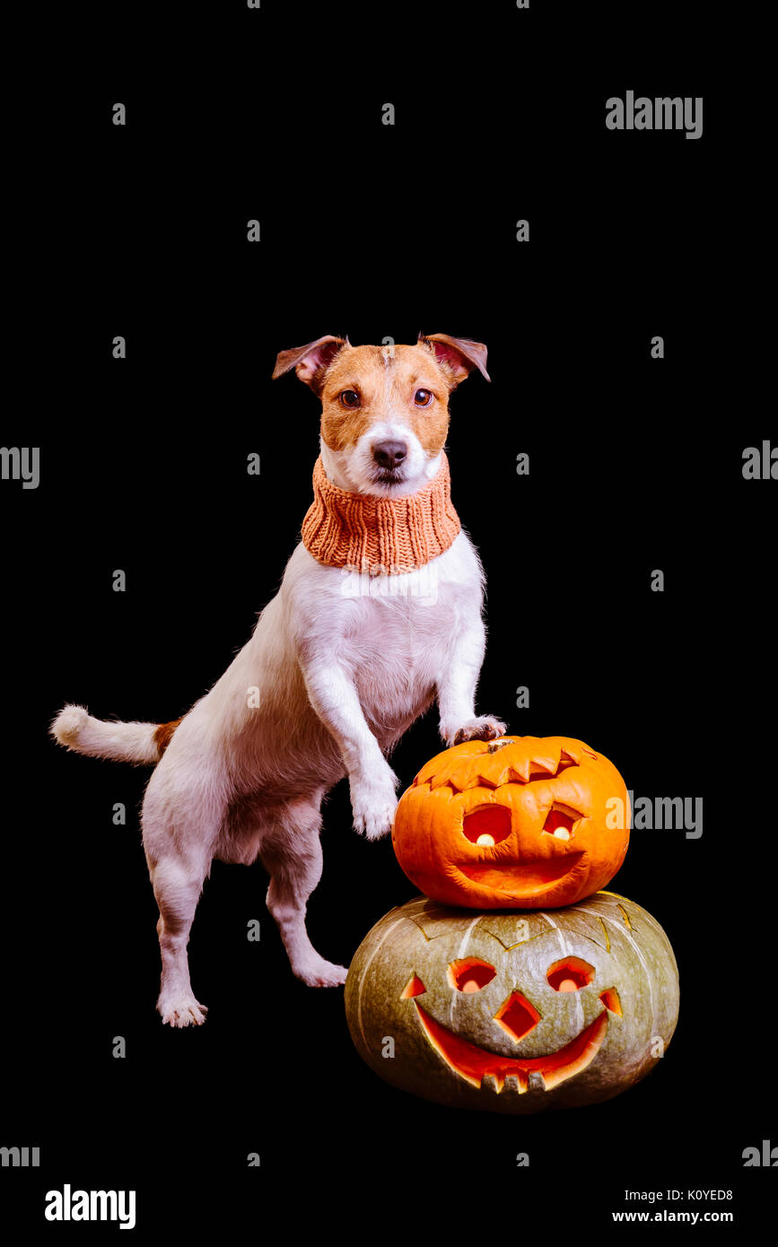 Halloween dog with two pumpkins isolated on black background - Stock Image