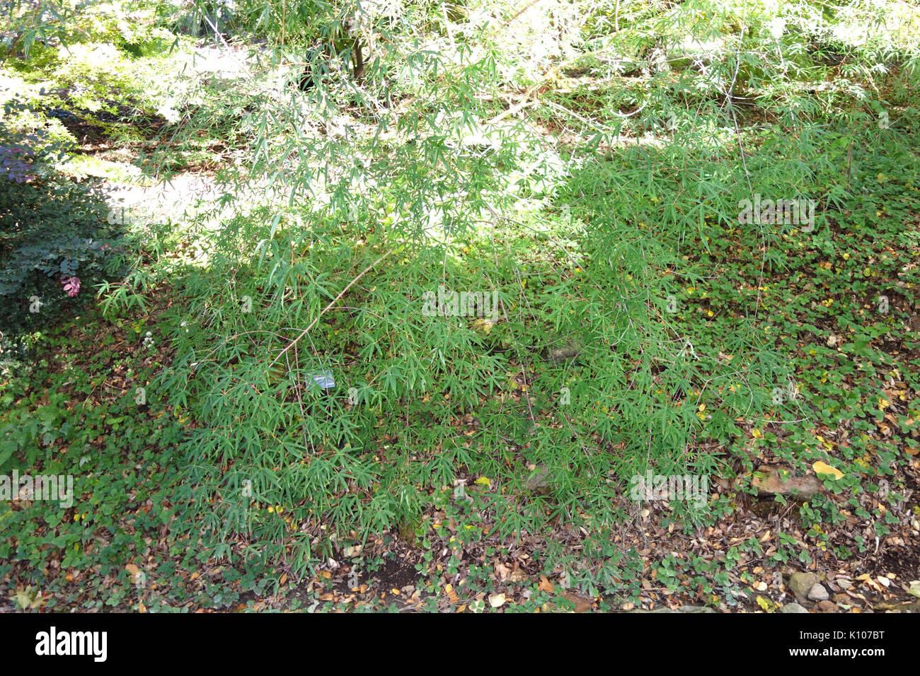 acer pentaphyllum quarryhill botanical garden dsc03225 - Quarryhill Botanical Garden