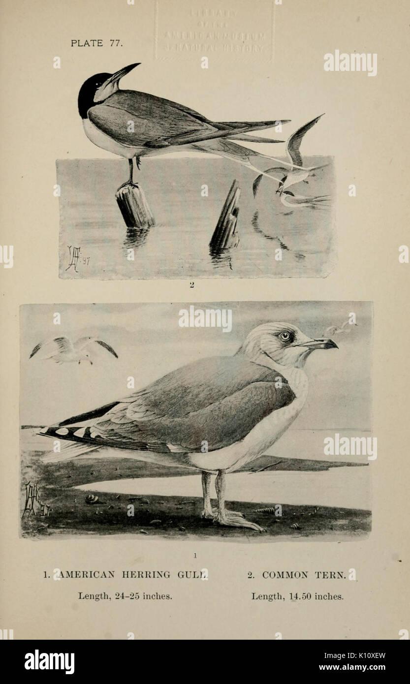 Birdcraft (Plate 77) BHL7832506 - Stock Image
