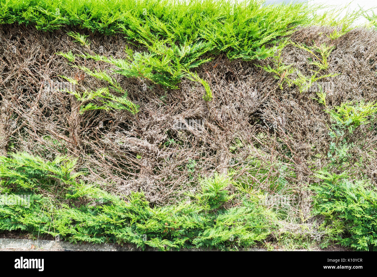 Conifer hedge with bare patches after cutting into old wood - Stock Image