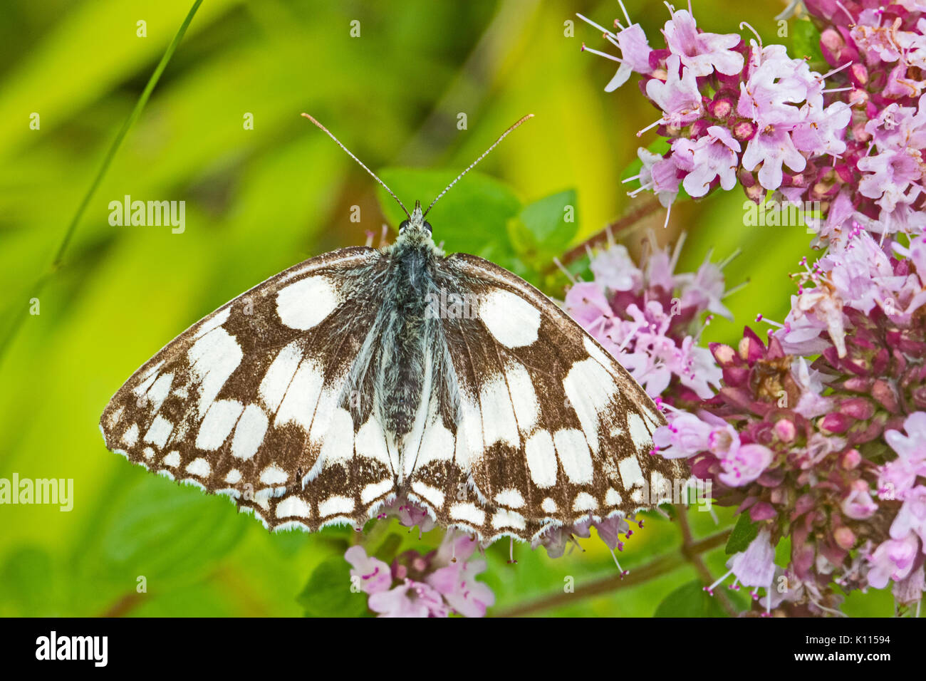 Marbled White  on wild marjoram - Stock Image