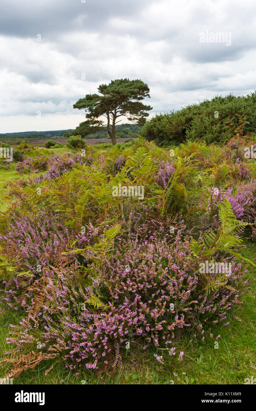 Lone pine tree with ling heather, Calluna vulgaris, and ferns at Bratley View, New Forest National Park, Hampshire, Stock Photo