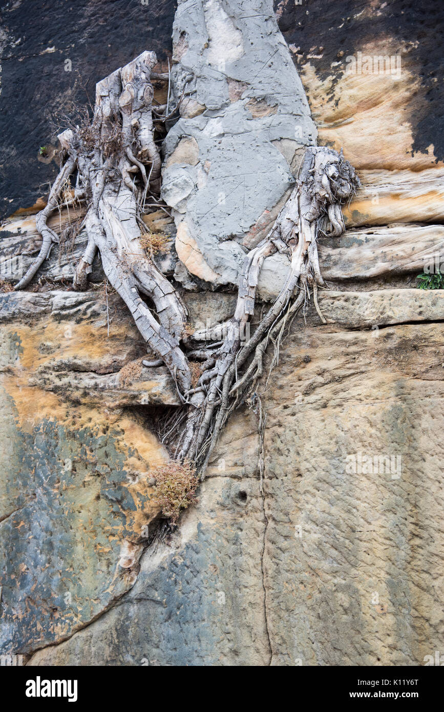 Closeup of concrete wall with root growing through the cracks in Sydney, Australia. - Stock Image