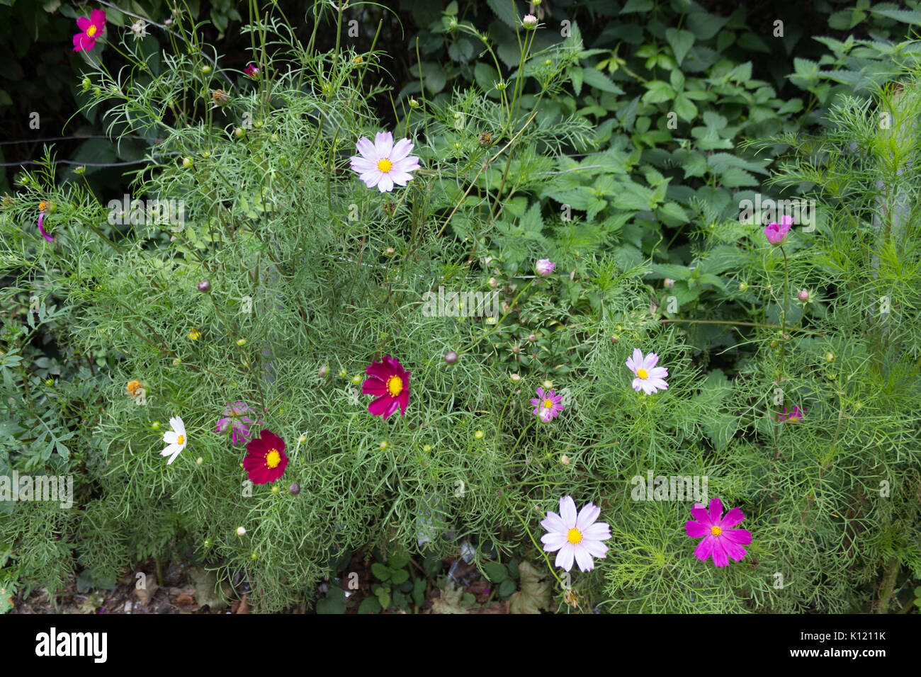 Bright light multi colored Cosmos flowers with eight petals and a yellow centre on a stem in full bloom in Summer in the garden with green leaves in t - Stock Image