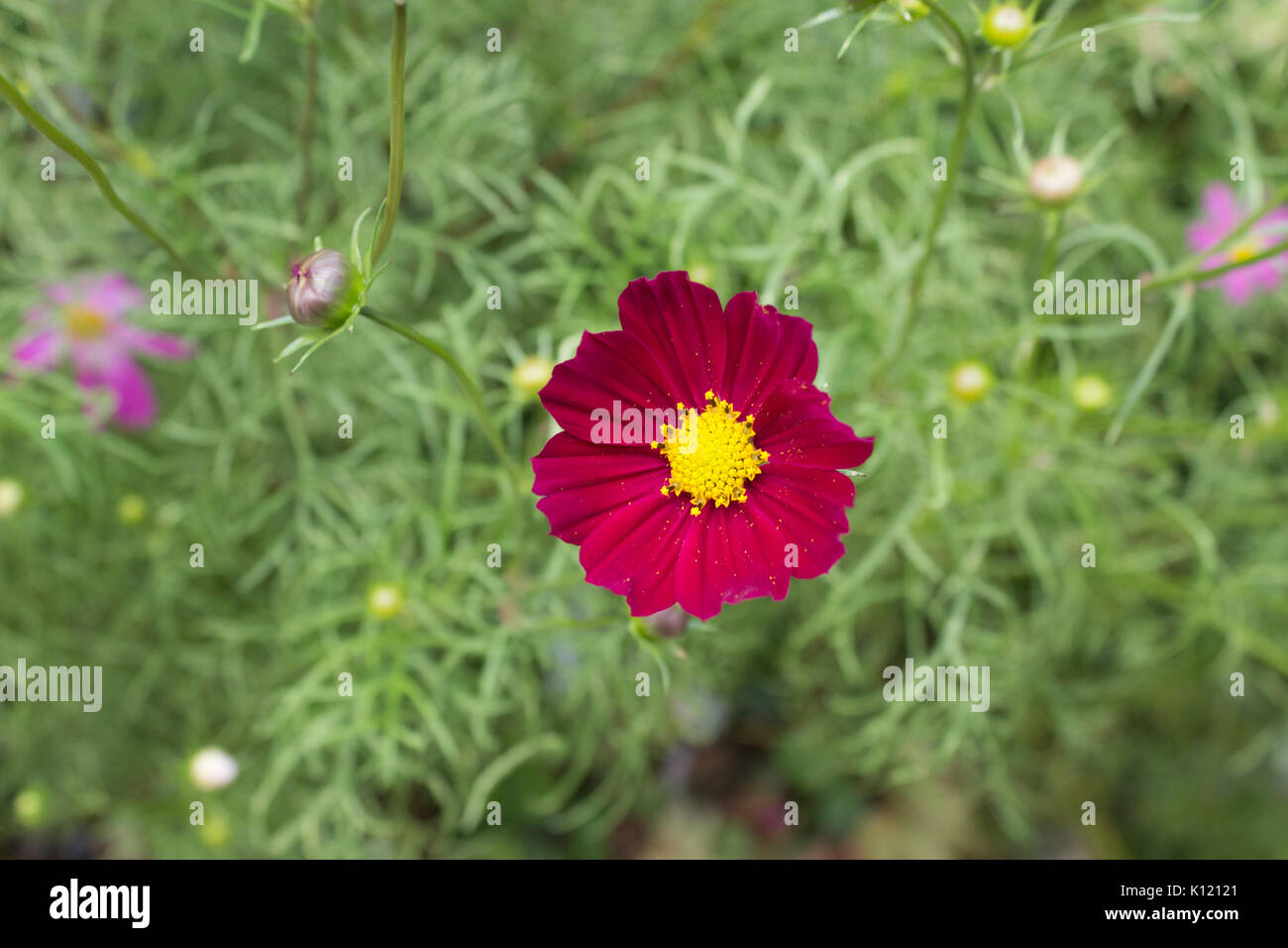 Bright red Cosmos flowers with eight petals and a yellow centre on a stem in full bloom in Summer in the garden with green leaves in the background - Stock Image
