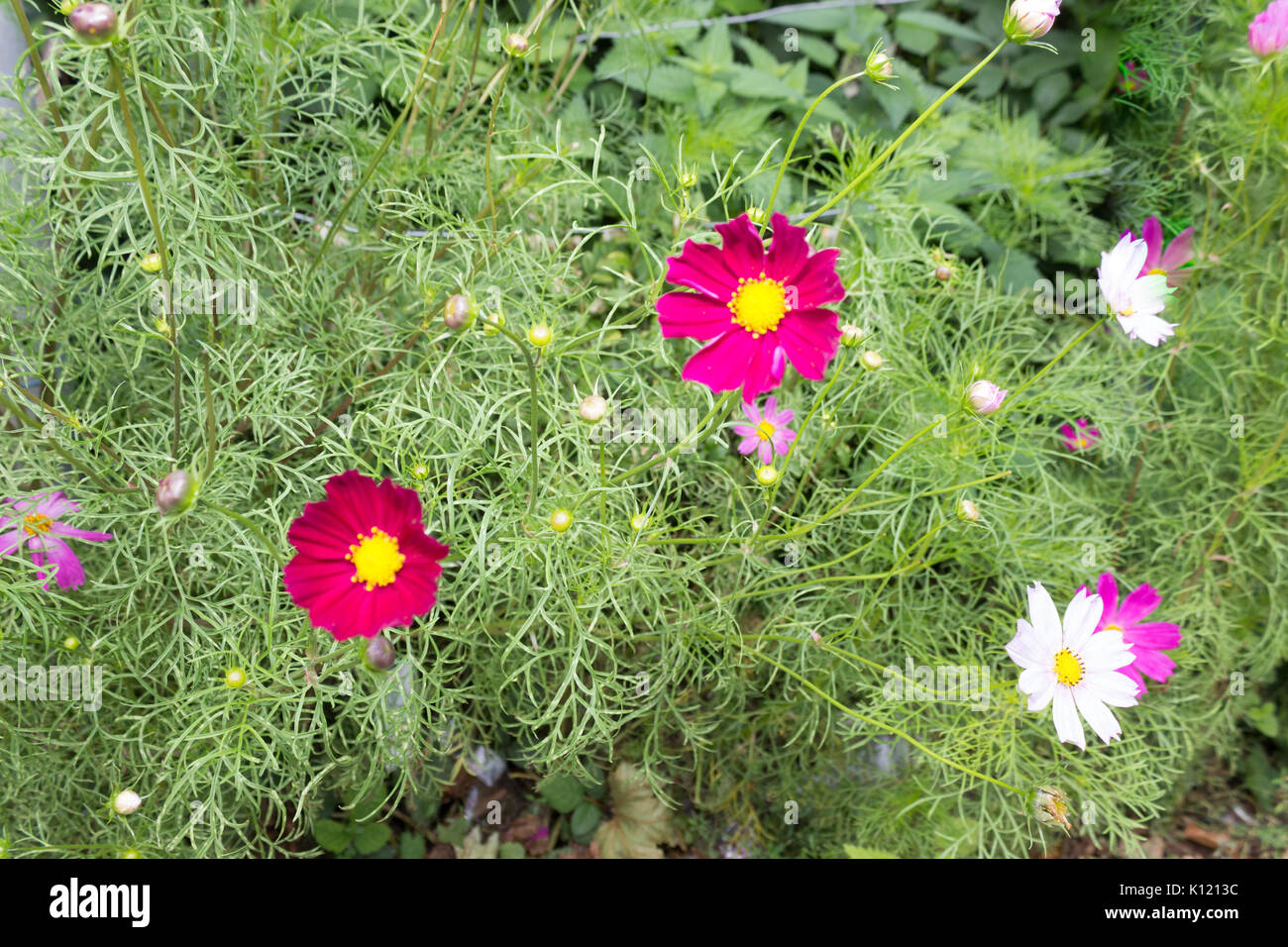 Bright red Cosmos flowers with eight petals and a yellow centre on a stem in full bloom in Summer in the garden with green leaves in the background. - Stock Image