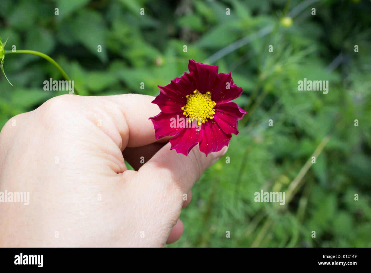 A Hand with bright red Cosmos flowers with eight petals and a yellow centre on a stem in full bloom in Summer in the garden with green leaves in the b - Stock Image