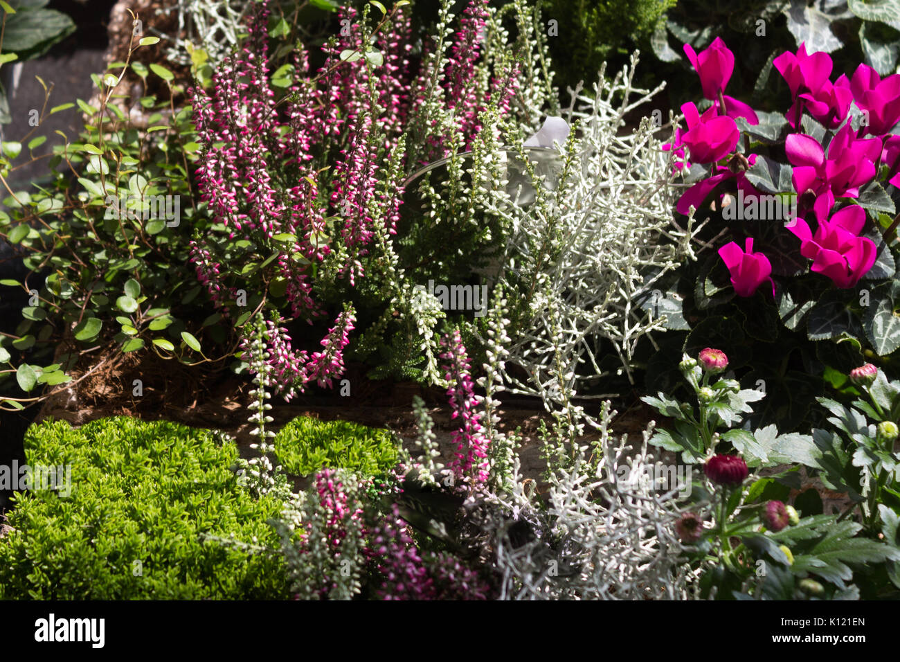 A garden with winter hardy erica plants - Ericaceae. - Stock Image