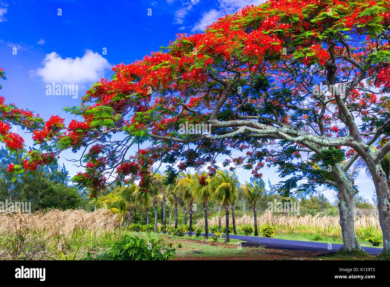 beautiful exotic tree with red flowers Flamboyant. mauritius island - Stock Image