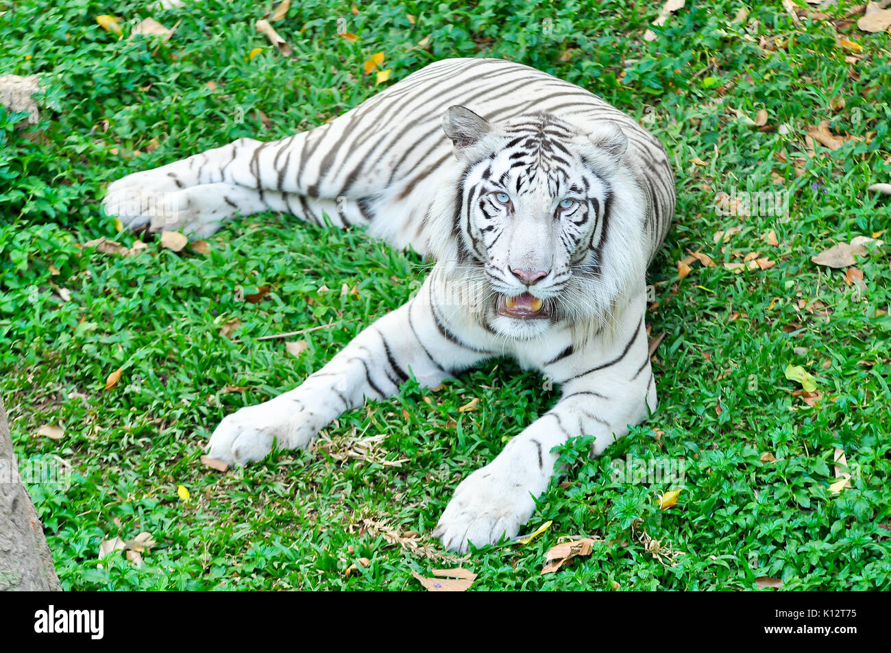 A white tiger in captivity at a zoo. The presence of stripes indicates it is not a true albino. - Stock Image