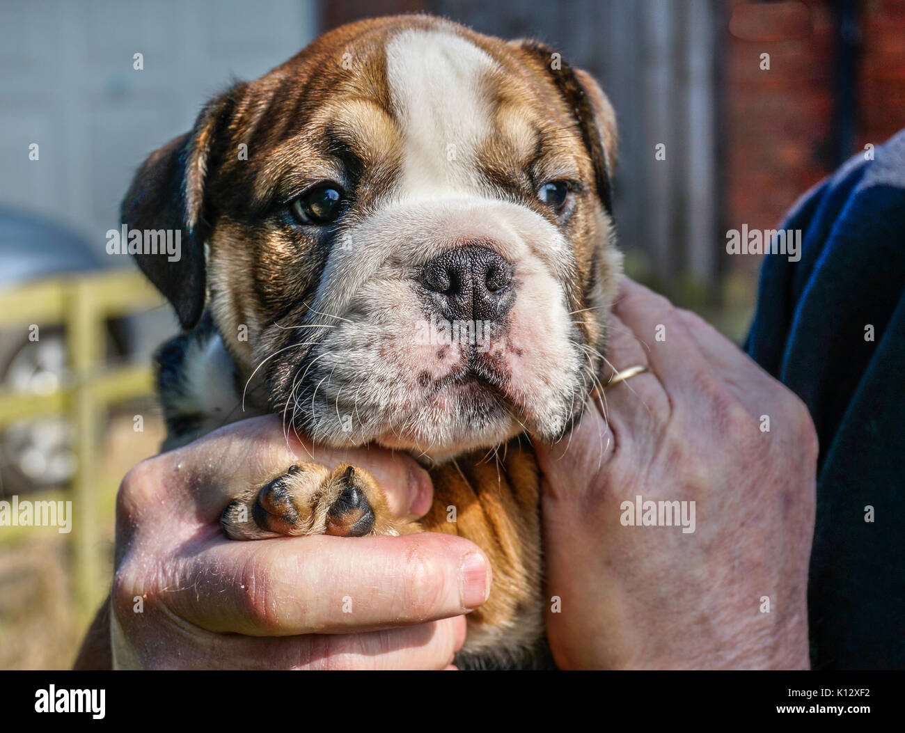 Man's hands holding a beautiful, eight weeks old, red English / British bulldog male puppy with a white face. - Stock Image