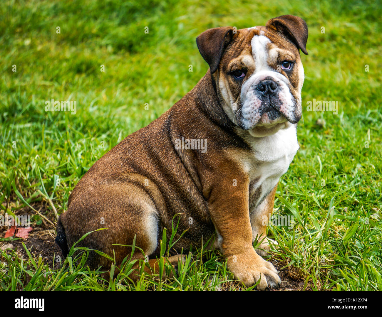 A beautiful four months old, red English / British bulldog male puppy with white mask, confidently sitting on grass in his garden, facing the camera. - Stock Image