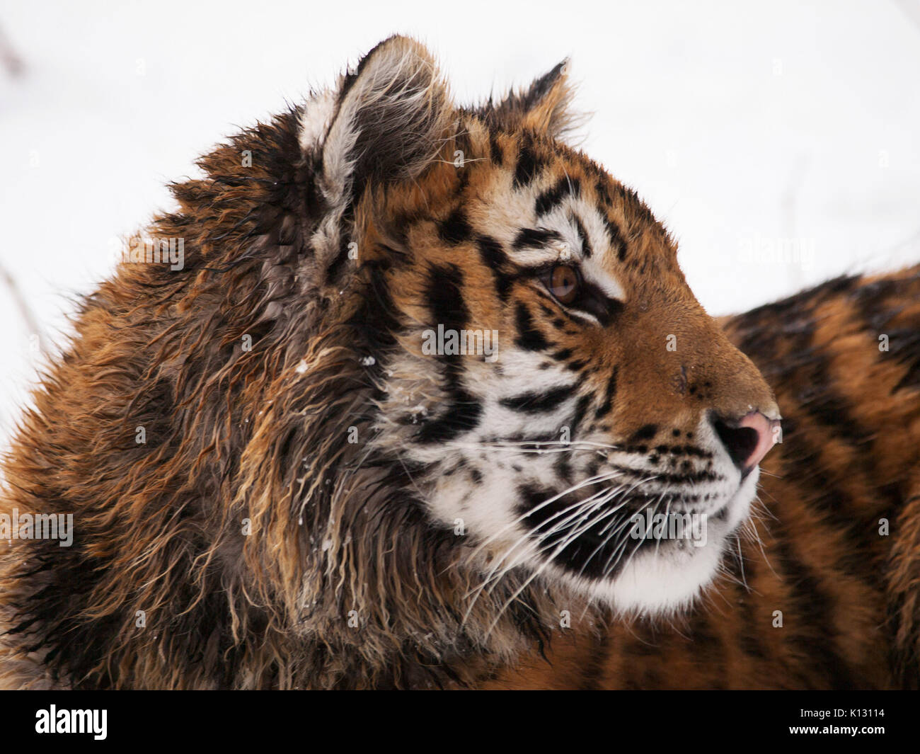 Detail of head of youg siberian tiger in winter - Panthera tigris altaica - endangered in IUNC Red List - Stock Image