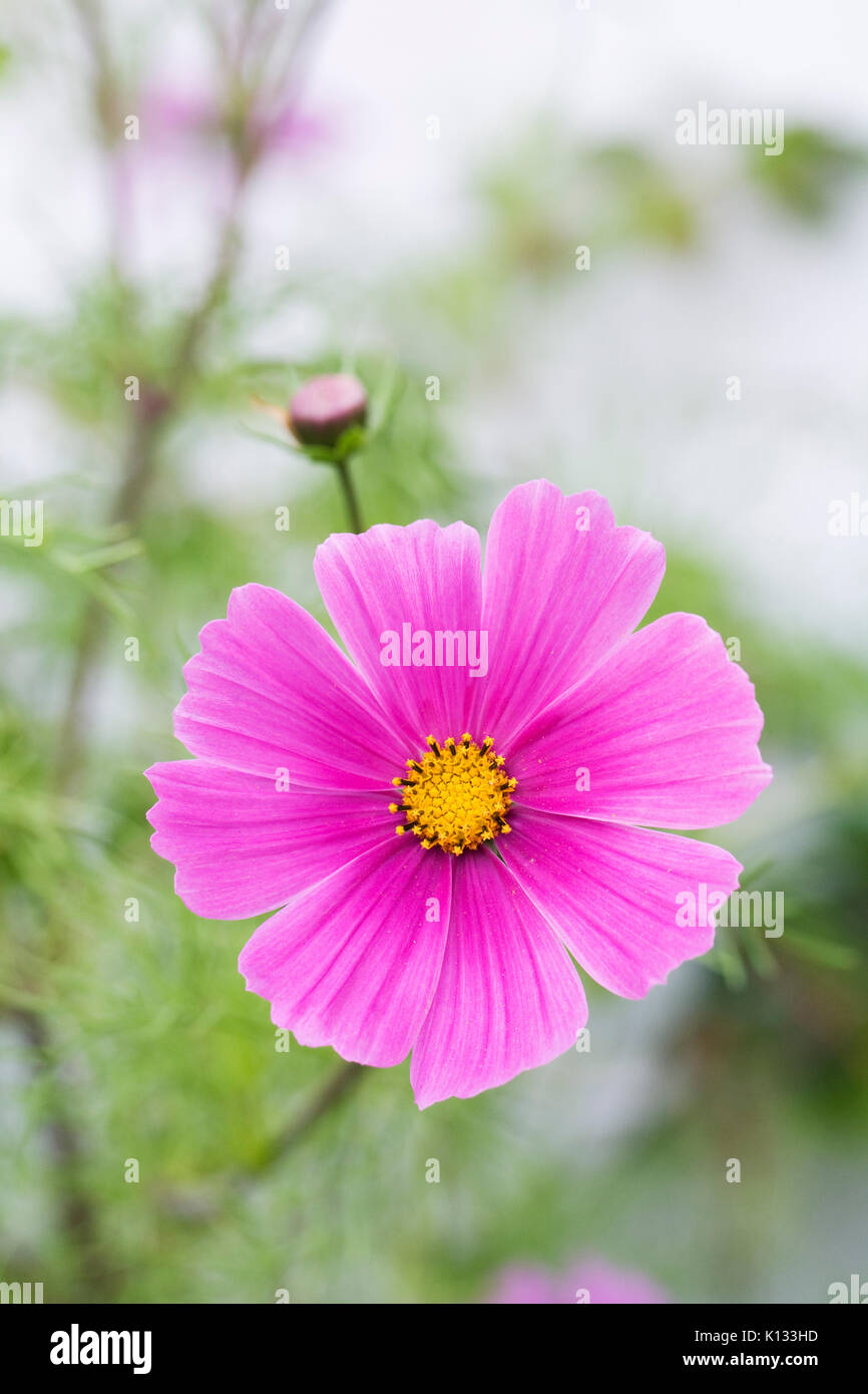 Cosmos bipinnatus flowers in Summer. - Stock Image