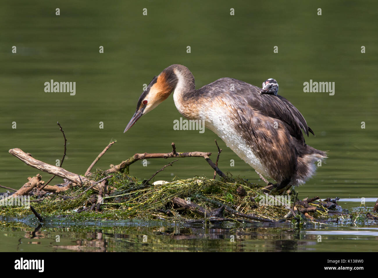 female Great Crested Grebe (Podiceps cristatus) standing on her nest with a young chick on her back - Stock Image