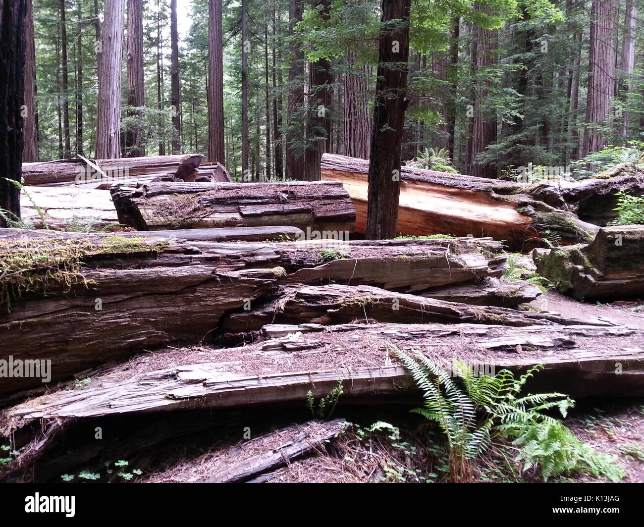 Bed of Fallen Trees - Stock Image