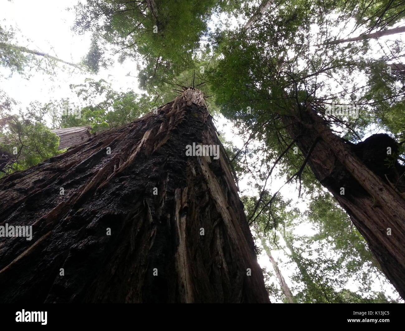 Redwood Canopy - Stock Image