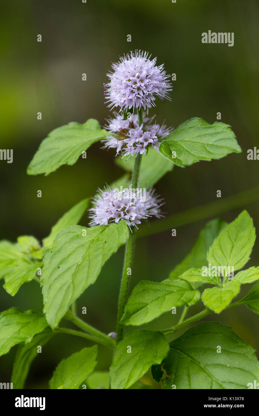 Blue lilac flowers of the fragrant foliaged water mint, Mentha aquatica, an UK wildflower of boggy areas and watersides - Stock Image