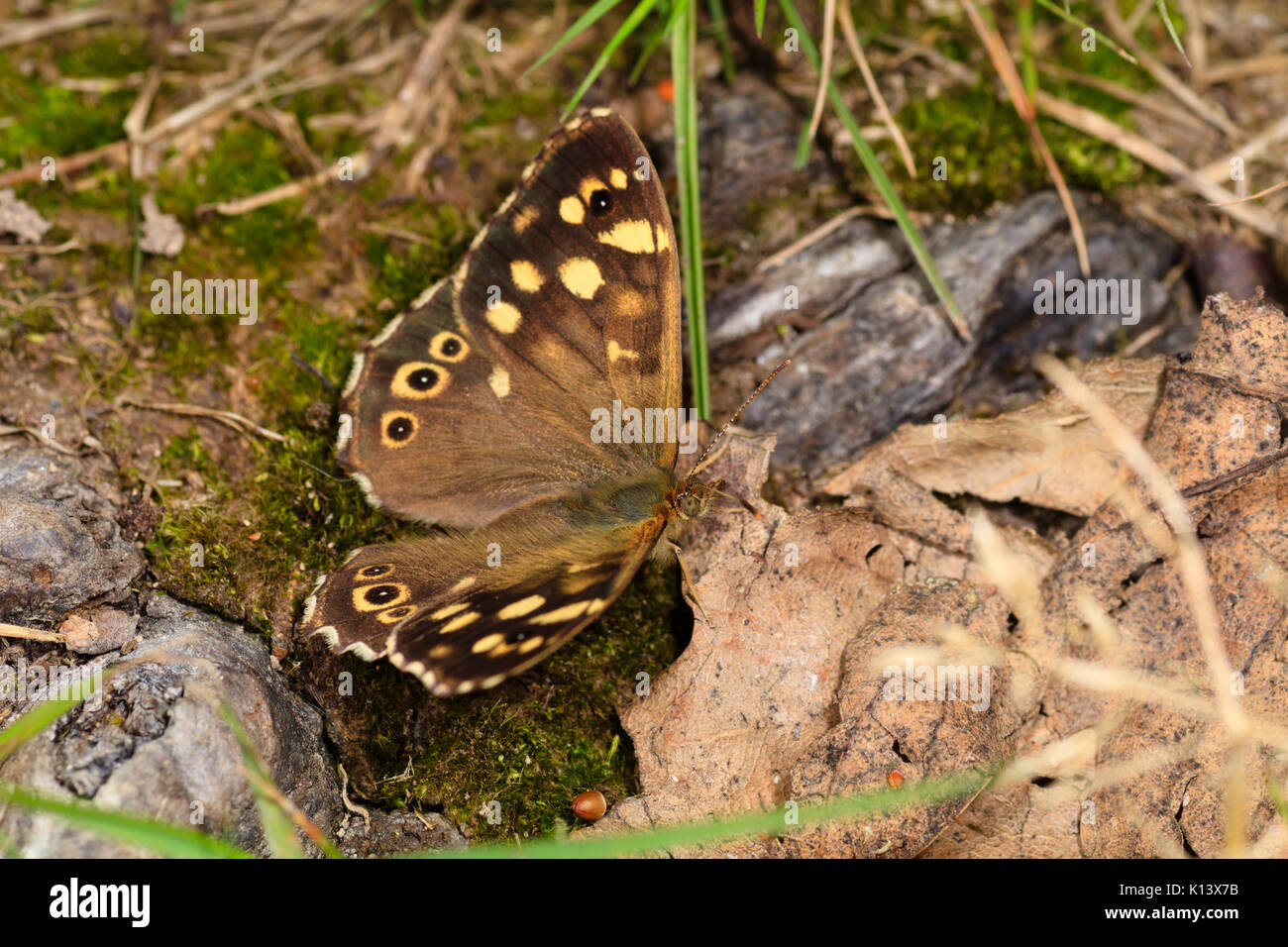 Speckled wood butterfly, Pararge aegeria, at rest and camouflaged among fallen leaves in a wood - Stock Image