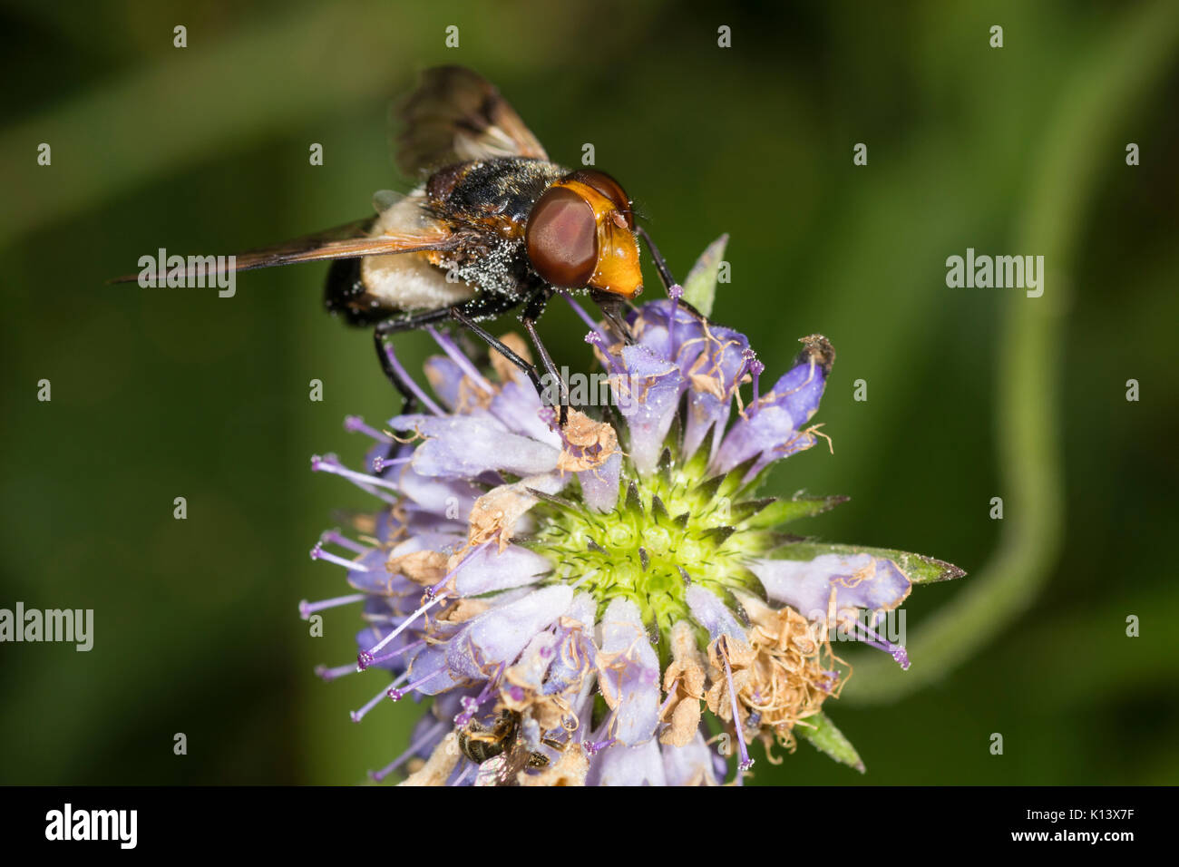 Pellucid hoverfly, Volucella pellucens, feeding on the fading flowers in the head of Devil's bit scabious, Succisa pratensis - Stock Image
