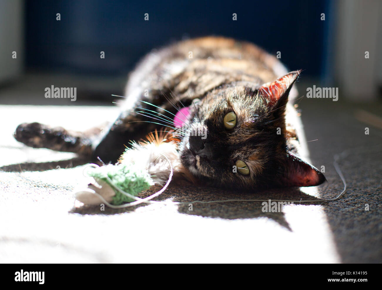 cute tortoiseshell cat rests in the sun, after playing with a small toy fish - Stock Image