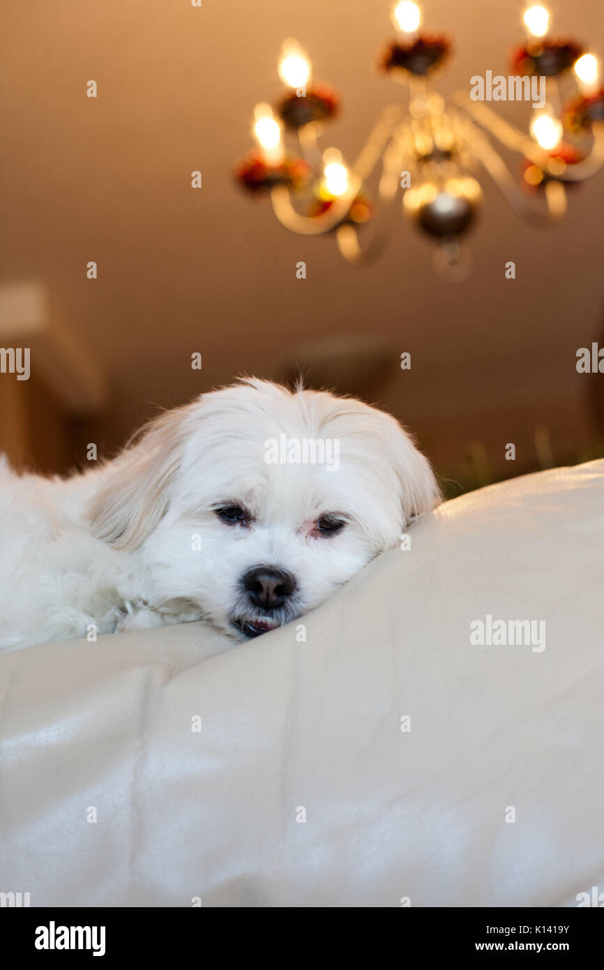 Incredible Small Brown And White Dog Laying On White Leather Couch With Forskolin Free Trial Chair Design Images Forskolin Free Trialorg