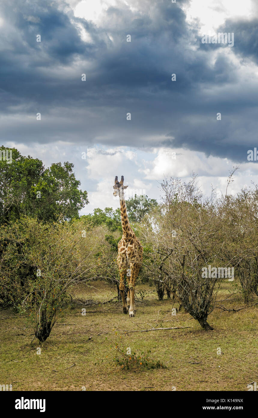View of Masai giraffe (Giraffa camelopardalis tippelskirchi) walking in scrubland in Masai Mara, Kenya under dark clouds as a rain storm approaches - Stock Image