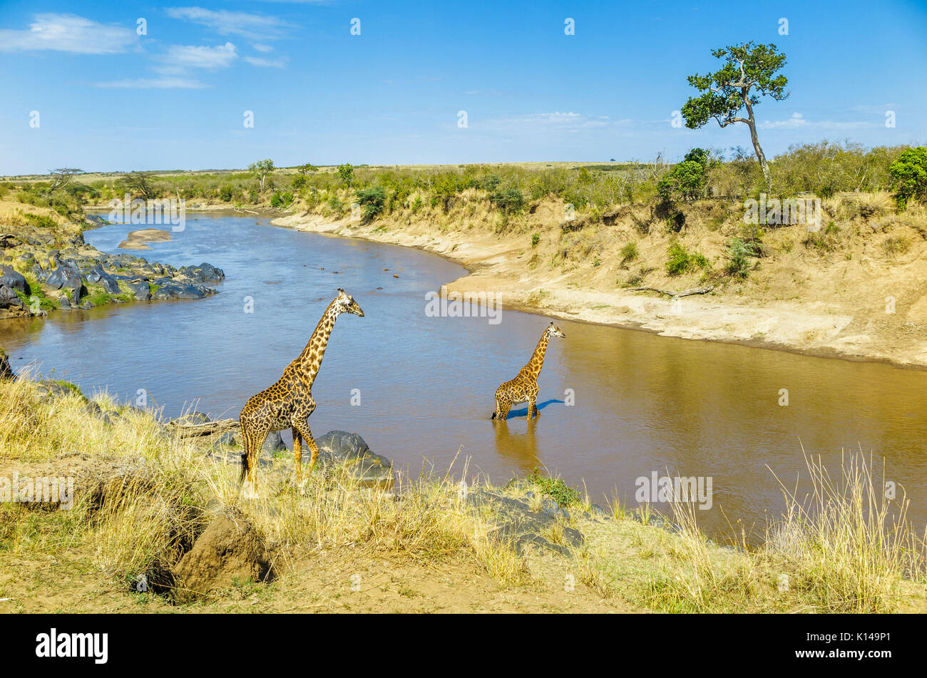 View of landscape with two Masai giraffes (Giraffa camelopardalis tippelskirchi) on the riverbank and crossing in the Mara River, Masai Mara, Kenya - Stock Image