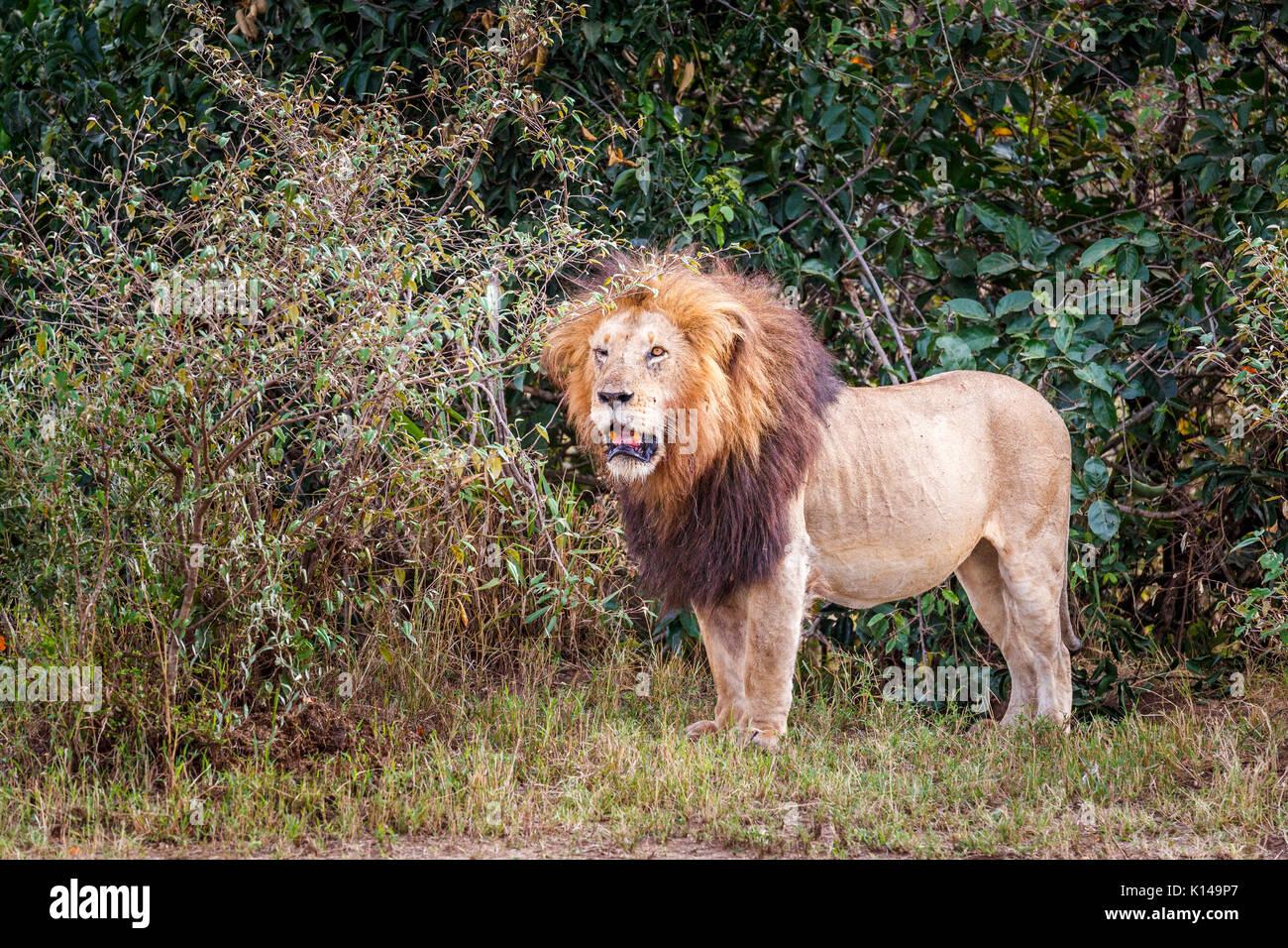 Solitary male Mara lion (Panthera leo) standing in scrubland, Masai Mara, Kenya - Stock Image
