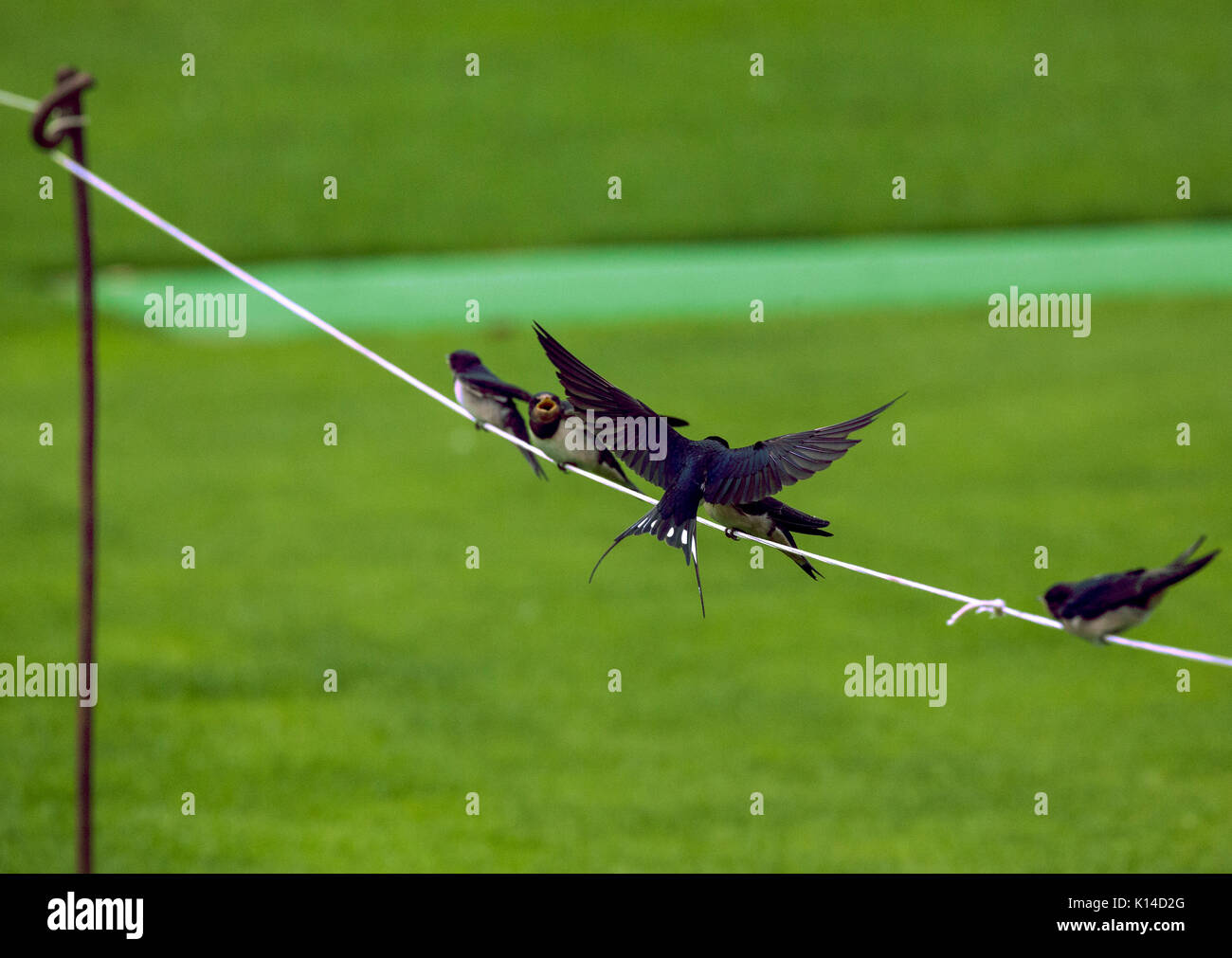 Swallow Hirundinidae  feeding young sitting on the ropes around a cricket ground - Stock Image