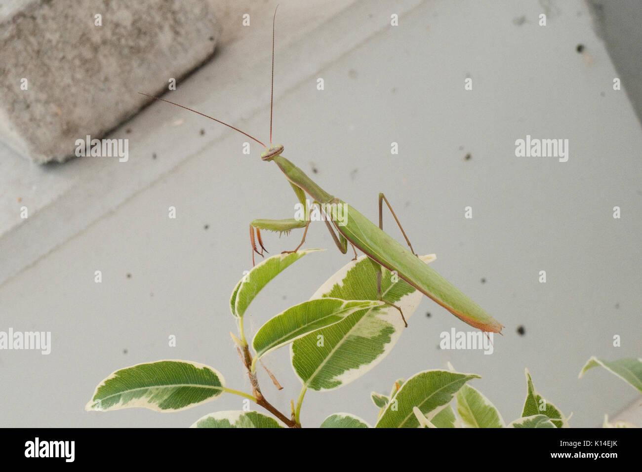Gottesanbeterin, Insekt des Jahres 2017 Stock Photo