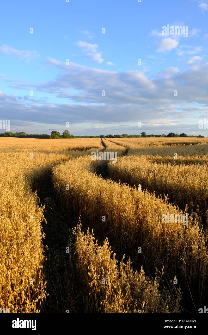 Vehicle tracks in a wheat field - Stock Image