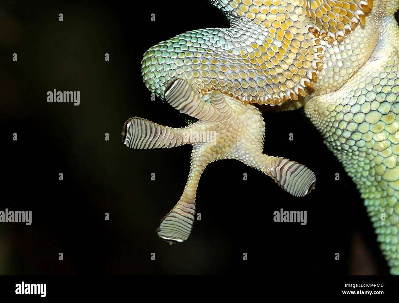 Close-up of a Green Madagascar Day Gecko (Phelsuma madagascariensis) hind foot clinging to a glass window pane with Stock Photo