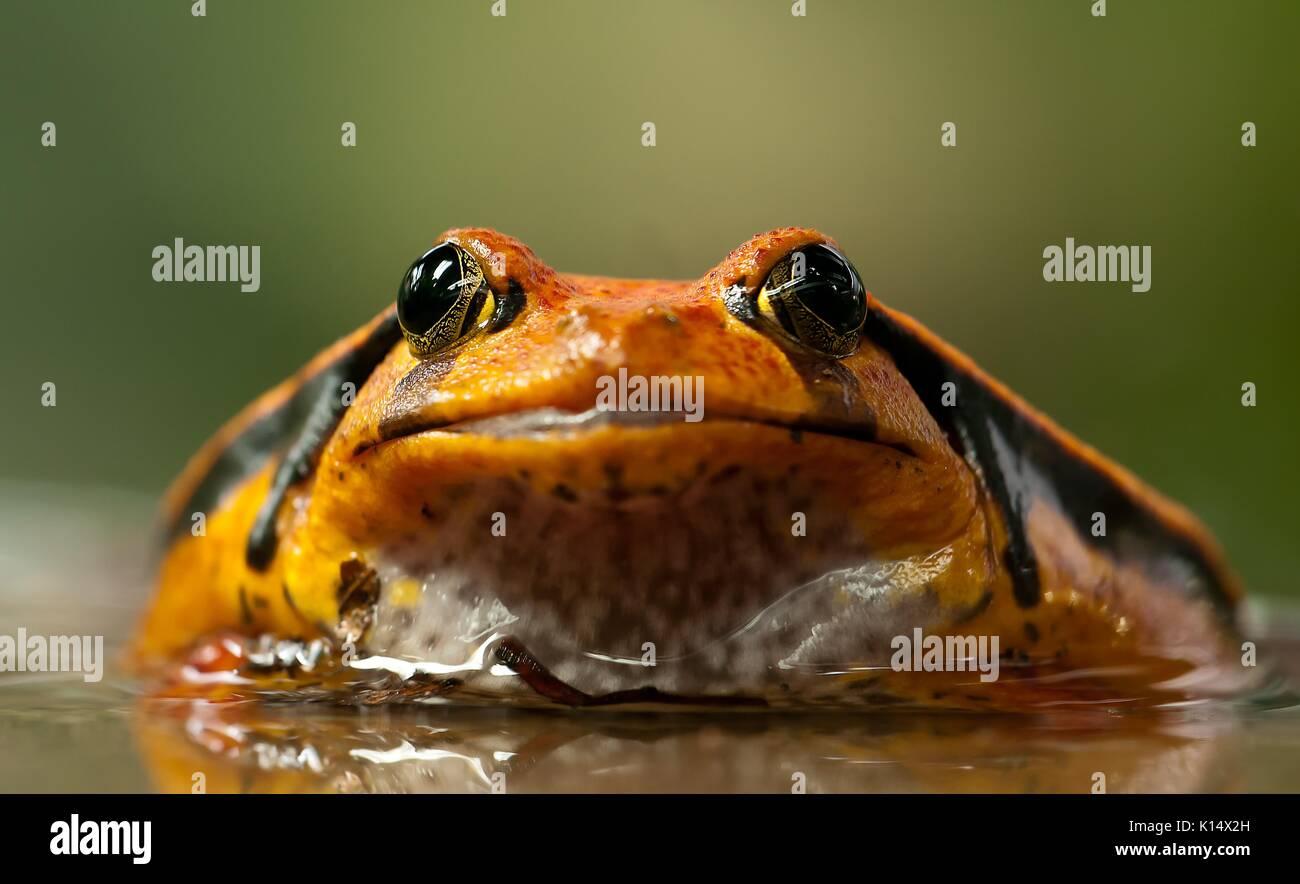 Close up headshot of a tomato frog - Stock Image