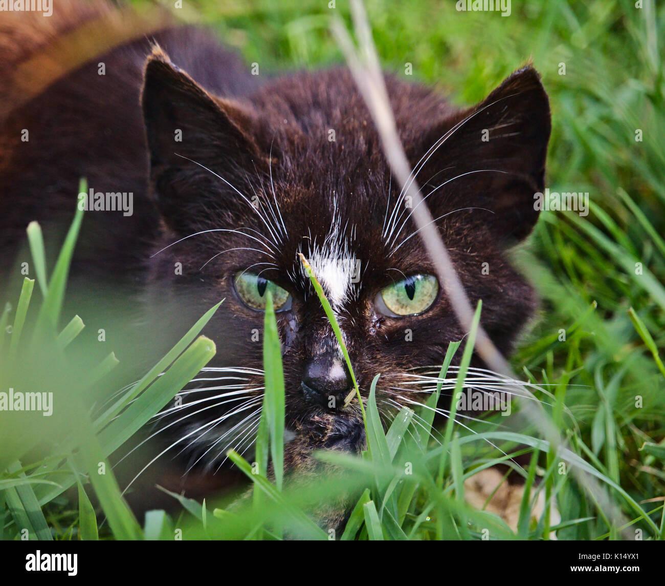 Cat with intense predator eyes hidden in the grass - Stock Image