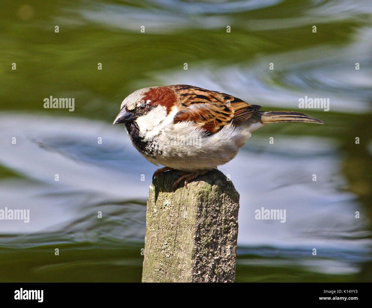 House sparrow perched on a fence post with a running stream in the background - Stock Image